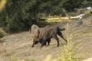 European bison_1
