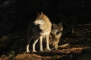 Wolves_6