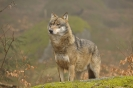 Wolves_7