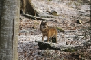 Wolves_9