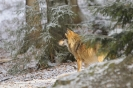 Wolves_2