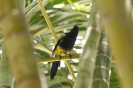 Black-cowled oriole - Zwartborsttroepiaal_1