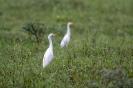 Cattle egret - Koereiger_1