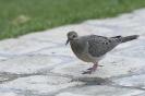 Eared dove - Geoorde treurduif_1