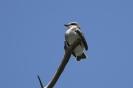 Gray kingbird - Grijze koningstiran_1