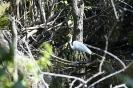 Great egret - Grote Zilverreiger_1
