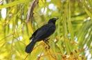 Greater Antillean grackle - Antilliaanse troepiaal_1