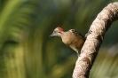 Hispaniolan woodpecker - Hispaniolaspecht_1
