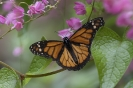 Monarch butterfly - Monarchvlinder_1