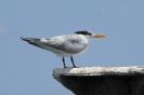 Royal tern - Koningsstern_1