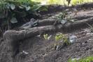 Spotted sandpiper - Amerikaanse oeverloper_1