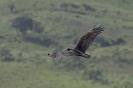 Turkey vulture - Kalkoengier_1