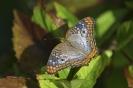 white peacock - Anartia jatrophae_1