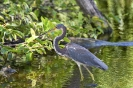 Witbuikreiger - Tricolored heron_1