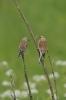 Dutch Birds