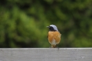 Common redstart_1