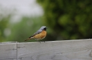 Common redstart_2