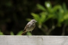 Common redstart_3