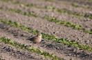 Eurasian dotterel - Morinel plevier_2