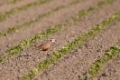 Eurasian dotterel - Morinel plevier_3