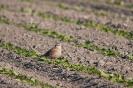 Eurasian dotterel - Morinel plevier_4