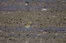European golden plover - Goudplevier_1