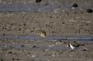European golden plover - Goudplevier_3