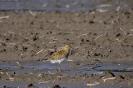 European golden plover - Goudplevier_5