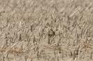 European golden plover - Goudplevier_7