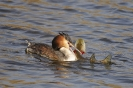 Great crested grebe_5