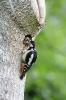 Great spotted woodpecker - Grote bonte specht_3