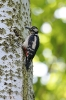Great spotted woodpecker - Grote bonte specht_4