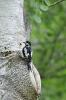 Great spotted woodpecker - Grote bonte specht_6