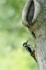 Great spotted woodpecker - Grote bonte specht_8