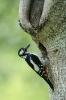 Great spotted woodpecker - Grote bonte specht_9
