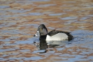 Ring-necked duck - Ringsnaveleend_1