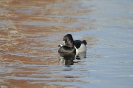 Ring-necked duck - Ringsnaveleend_2