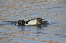 Ring-necked duck - Ringsnaveleend_3