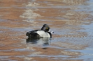 Ring-necked duck - Ringsnaveleend_5