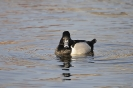 Ring-necked duck - Ringsnaveleend_6