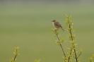 Sedge warbler - Rietzanger_5