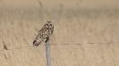 Short-eared owl_3