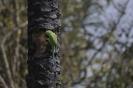 Rose-ringed parakeet_2