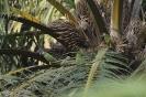 Senegal parrot_1