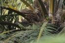 Senegal parrot_2