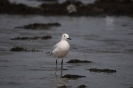 Slender-billed gull_1