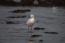 Slender-billed gull_2