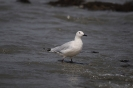 Slender-billed gull_3