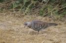 Speckled pigeon - Gespikkelde duif_1