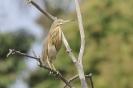 Squacco heron - Ralreiger_1